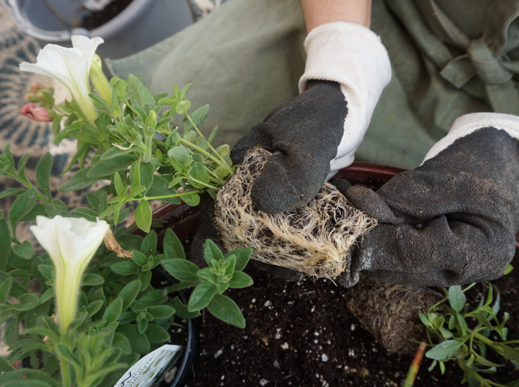 How to loosen roots of flower before planting